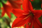 červený květ v zahradě — Stock fotografie