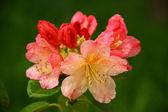 Flores en la lluvia — Foto de Stock