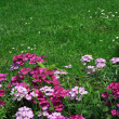 Pink flowers in the garden — Stock Photo