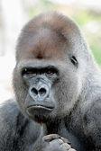Retrato de gorila — Foto Stock