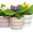 Stock Photo: Multi-colored Primeroses in striped flower pots