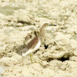 Indian Pond-Heron — Stock Photo