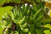 Green Bananas on Banana tree — Stock Photo
