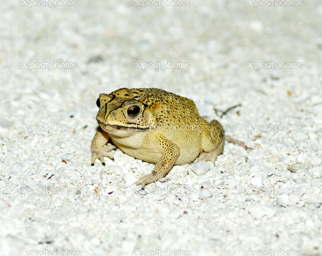 Golden Tree Frog or Hyla on sand in natural environment — Stock Photo #10518703