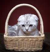 Kitten in head — Stok fotoğraf