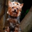 Yorkshire terrier in a garden — Stock Photo