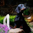 dachshund in a garden — Stock Photo