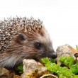 Hedgehog on stone — Stock Photo #10545666