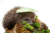 Hedgehog with a leaf — Stockfoto