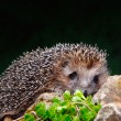 Stock Photo: Hedgehog on stone