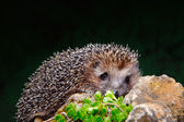 Hedgehog on a stone — Stock Photo