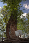 Yesenin's poplar — Stock Photo