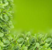 Mint background - green leaf border — Stock Photo