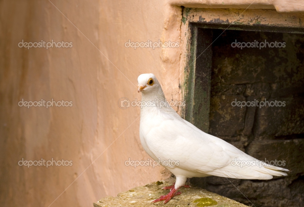 White pigeon-freedom — Stock Photo #10106306