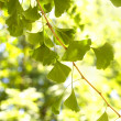 Ginkgo — Stock Photo #8711531