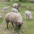 Flock of Sheep Grazing — Stock Photo #10055004