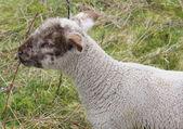 Baby Lamb — Stok fotoğraf