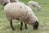 Owce na pastwisku — Zdjęcie stockowe