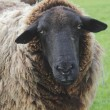 Close Up of a Woolly Sheep - Stock Photo