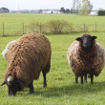 Two Sheep Grazing — Stock Photo