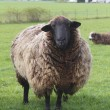 A Large Sheep Stands Alone - Stock Photo