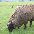 Stock Photo: Brown Sheep Grazing