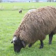 Brown Sheep Grazing - Stock Photo