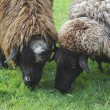 Close on Two Sheep Grazing - Stock Photo