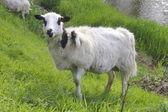 Goat on Hillside — Stock Photo