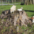 Stock Photo: Goats in Pasture