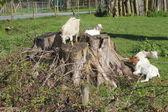 Kozy na pastvu — Stock fotografie