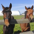 Stock Photo: Two Curious Horses