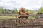 Beautiful Chestnut Coloured Horse — Stock Photo