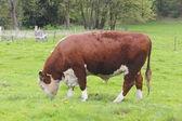 Muda a vaca leiteira — Foto Stock