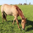 Horse Grazing in Meadow - Stock Photo