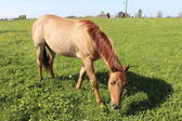 Horse Grazing in Meadow — Stock Photo