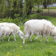 Two Shedding Sheep — Stock Photo