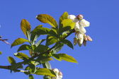 Close on Blueberry Blossoms — Stock Photo