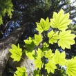 Maple Leaf Tree — Stock Photo
