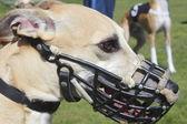 Detailní záběr greyhound — Stock fotografie
