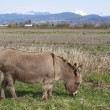 Stock Photo: Donkey or Burrow grazing