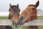 Two Horses Nuzzel — Stock Photo
