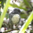 Toutouwai - Bush Robin — Stock Photo