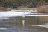 Kotuku - White heron — Stock Photo