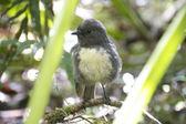 Toutouwai - bush robin — Stockfoto