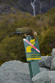 Don't feed the Kea! — Stock Photo