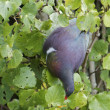 Stock Photo: Kereru