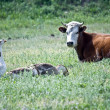 Cow and gooses — Stockfoto
