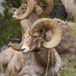 Stock Photo: Bighorn Sheeps