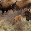 Bison Calf — Stock Photo #10573965